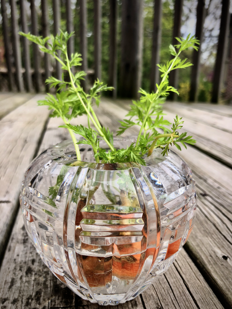 carrot tops growing in a crystal vase on wood