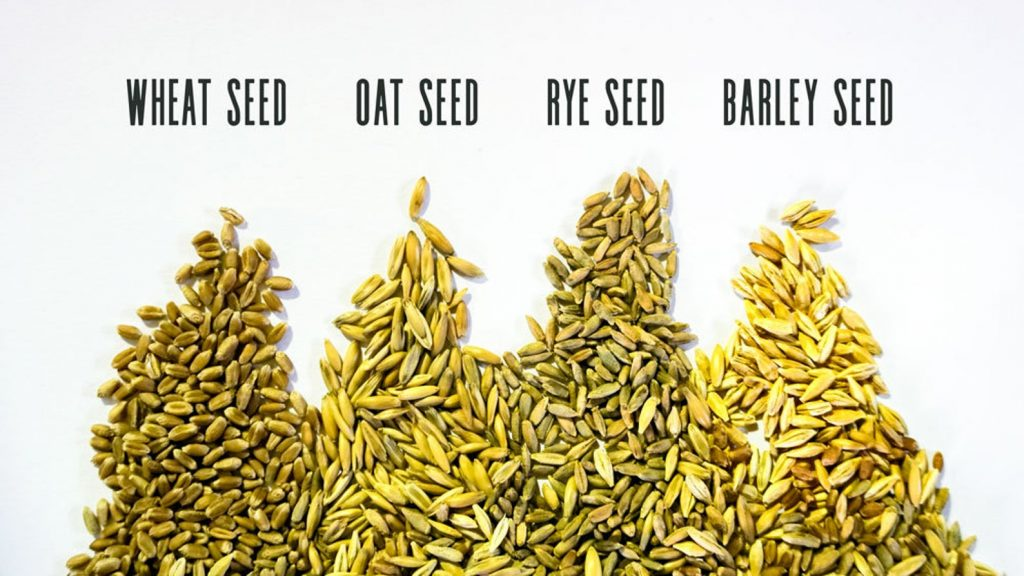 Seeds you can grow for your cat include oat, rye, barley and wheat
