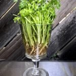 coriander growing in a glass