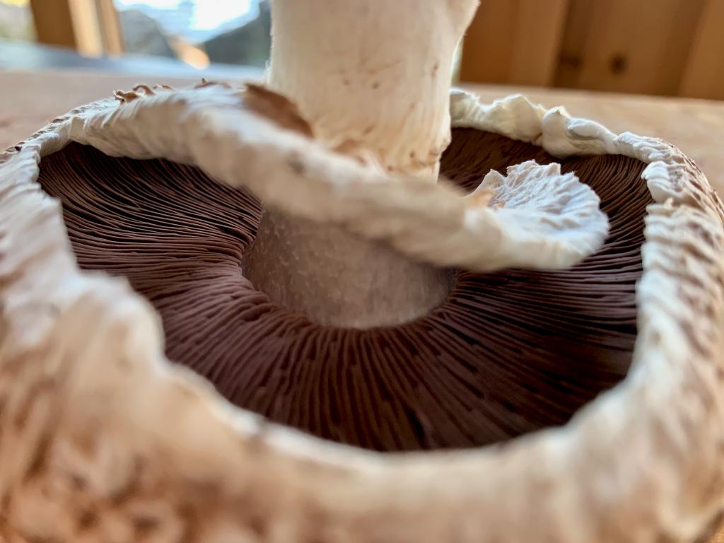 close view of a mushroom gills and stem