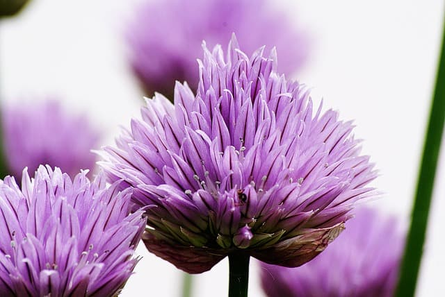Close up of chive flowers