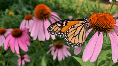 Monarch on a echinacea flower in a garden