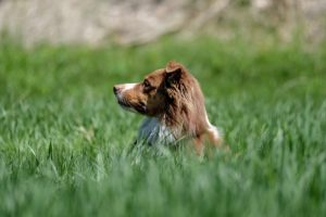 Australian Shepard head popping up from grass