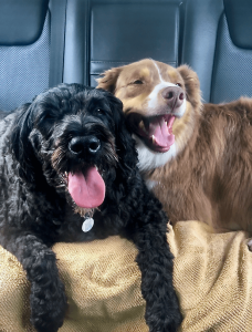 Two happy dogs on the back seat of a car. One dog is black, the other is tan and white