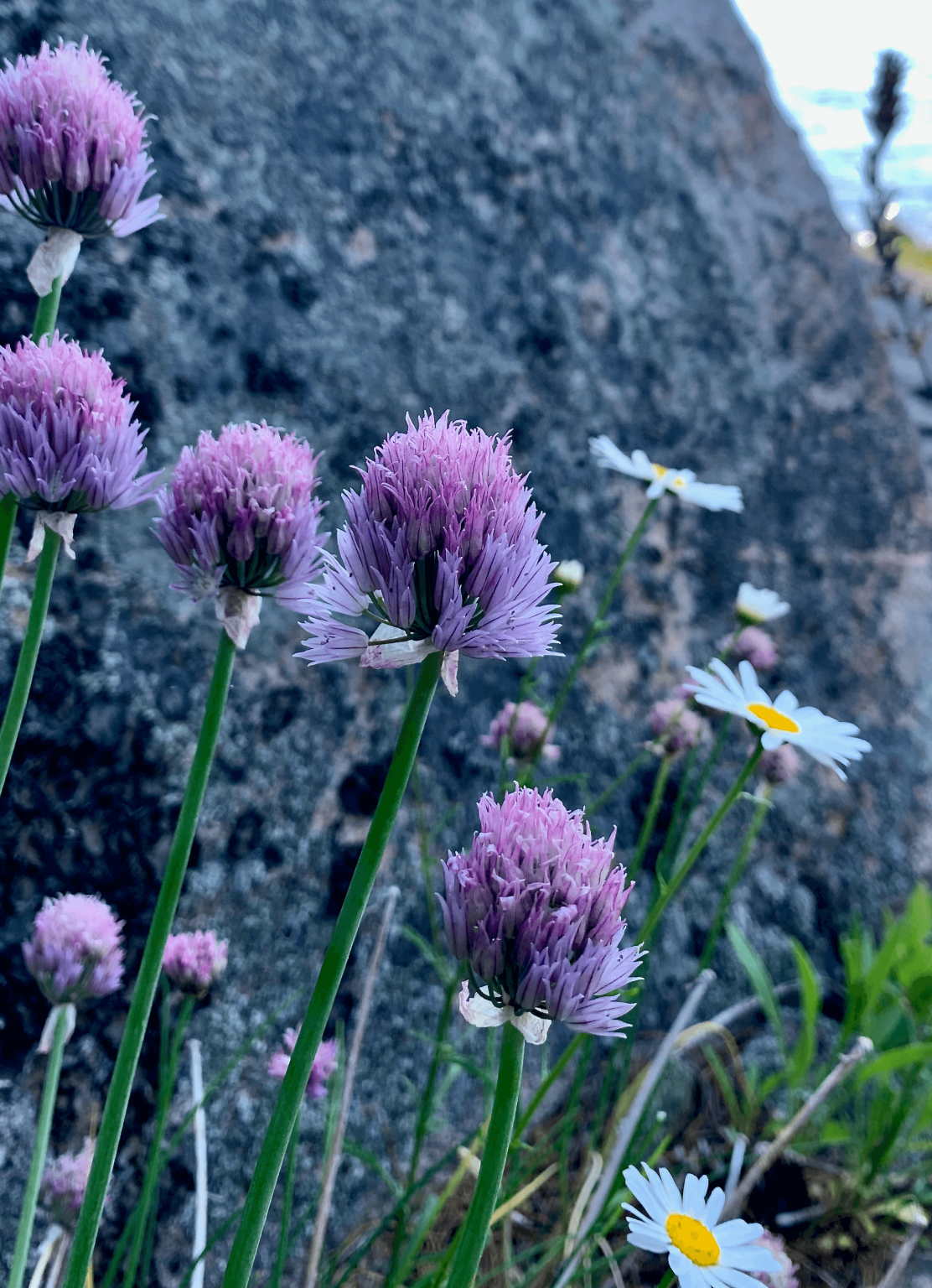 Chives beside the rock are going to seed and ideal for harvesting for micro-green gardening