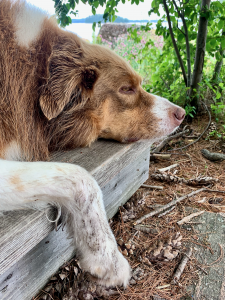 Our dog relaxing after a long swim and run because he's taking CBD for a stiff hip