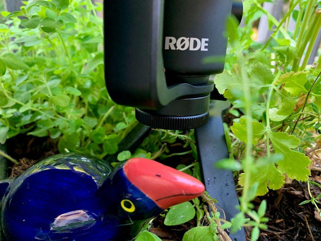 NZ Pukeko native bird amongst fresh herbs in garden with a Rode microphone