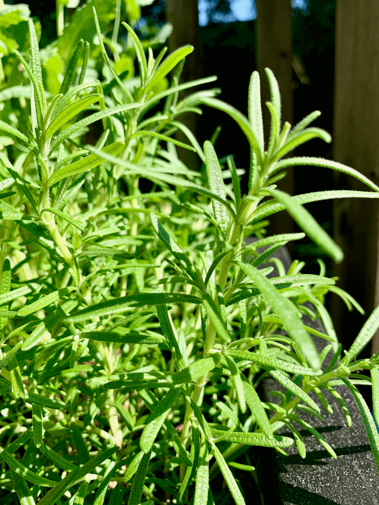 Rosemary is one of three herbs that work with roasted chicken