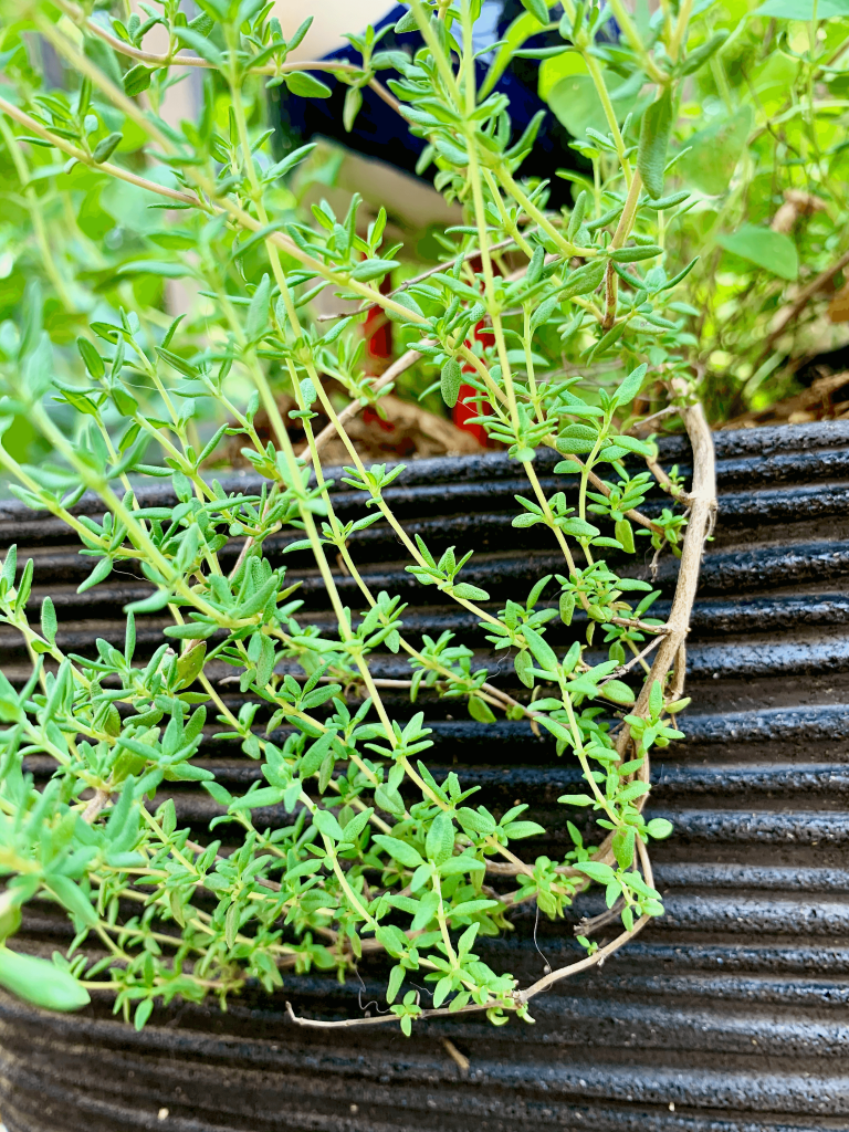 Thyme is one of the poultry herbs and used in a herb butter