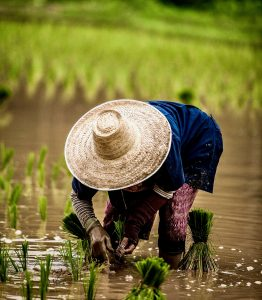 Rice growing in fields reminds us our food starts with the farmers