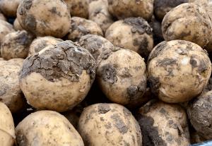 Raw potatoes freshly dug